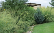 Giant Sacaton, Sporobolus wrightii, Demonstration Xeriscape Garden SE CO Water Conservancy District