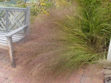 Switch grass, Photo: Denver Botanic Garden