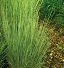 Little bluestem Photo: CSU Extension